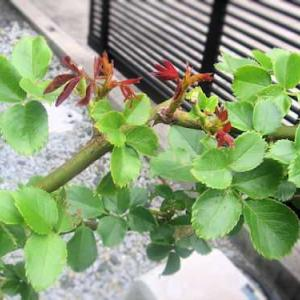 新芽が出てきました・・・私のいい加減な庭仕事