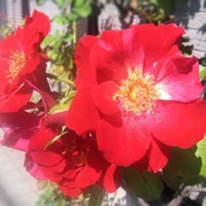 秋の薔薇 ~フォースオブジュライ~ 2021
