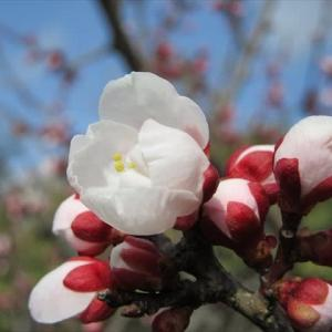 我が家の梅も七分咲き
