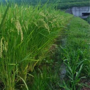 稲の生長に違いがハッキリと・・