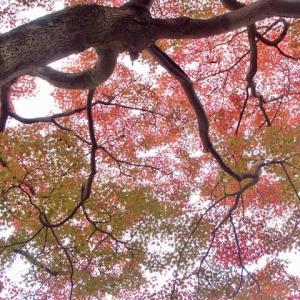 主計町の紅葉。