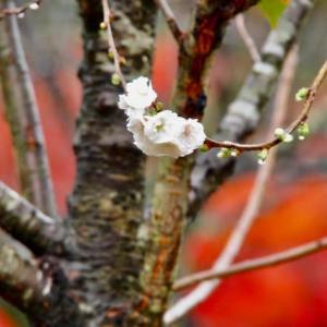 冬桜。兼六園。