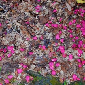 去年秋の落ち葉と、今年の冬の花びら。