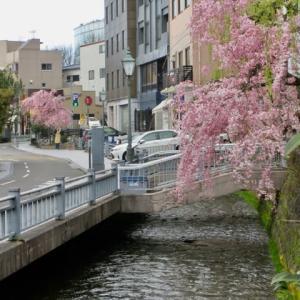 長町武家屋敷近く、せせらぎ通りの桜。桜はきれいだけれど、観光客はほぼ0。