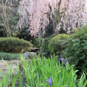 枝垂れ桜と杜若。白鳥路、大手町側。