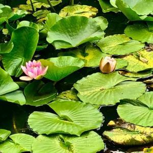 蓮の花。金沢神社。ここの神社の宮司は、安江鍛冶八幡も。