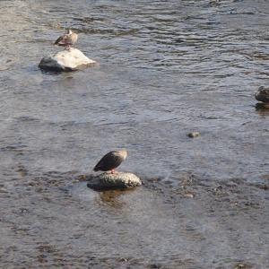 石の上、川風で涼みながら、餌を待つ。または、水の中で涼みながら、おやっ?!