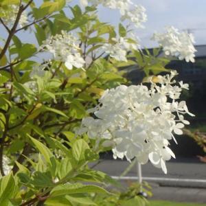 白い花、2点。常盤町。今日の金沢は猛暑日。