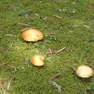 雨もあり日差しもあって、キノコも成長する。