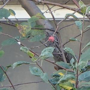 2〜3センチの小さな実をつける海棠(海棠)リンゴ。高岡町。