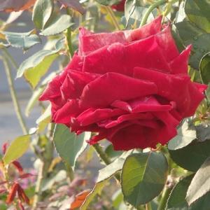 丹精込めて咲かせた花。馬場4番丁。