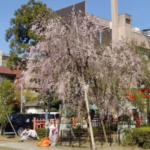 花びら掃除。尾崎神社。