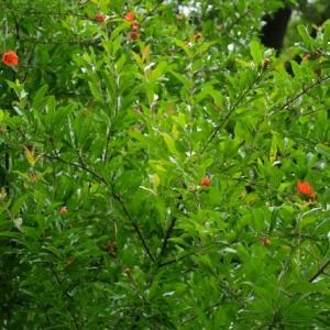 大きな木に、小さな赤い花。 ザクロ? 昌永町。