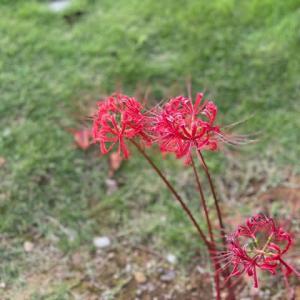 金沢城址公園の彼岸花。