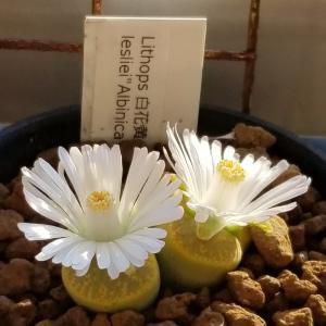 リトープス次々開花