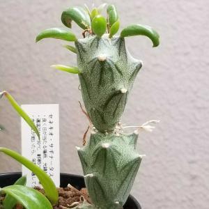 サギナータスに新茎