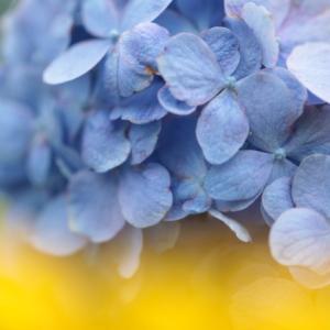 1751 紫陽花