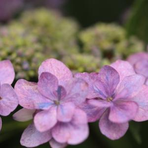 1754 紫陽花