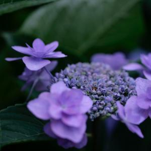 1618 紫陽花