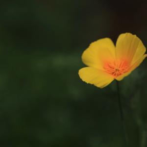 1623 花壇に咲く一輪