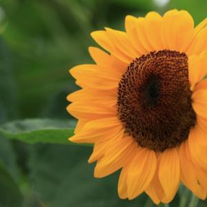 1625 向日葵