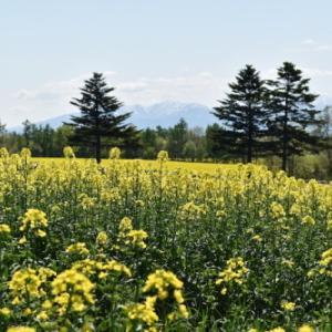 北海道 滝川 5月中旬 菜の花畑