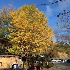 修善寺自然公園 もみじ林の紅葉 見て来たよ