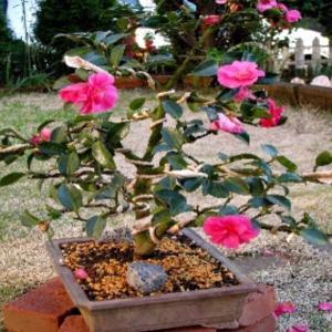 寒椿の盆栽を貰ってはみたが…