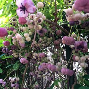 アケビの花が咲きました‼️