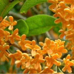 キンモクセイは秋の香り