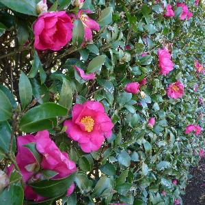 山茶花の綺麗な垣根‼️
