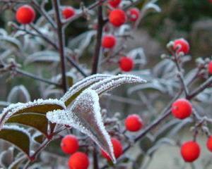 霜の降りた南天とモミジ‼️