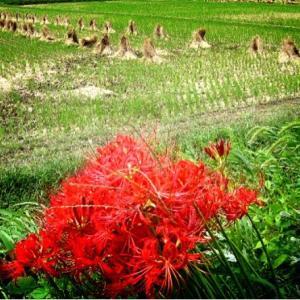 寂しくなった田んぼに彼岸花が咲く