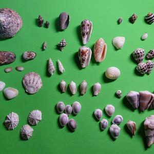 宮古島の貝 (いただきもの)