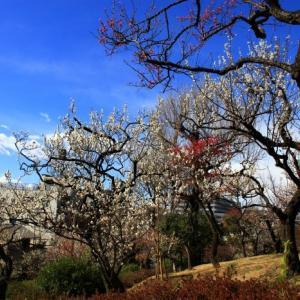 羽根木公園の梅花