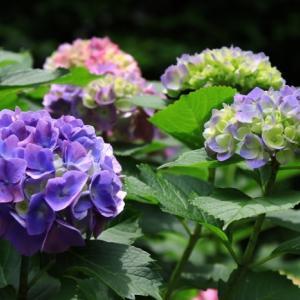光が丘公園の紫陽花