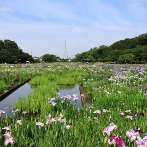 花菖蒲北山公園