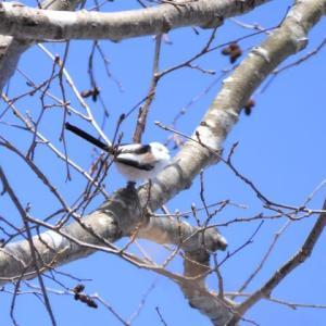 今日出会った野鳥 コゲラ&シマエナガ