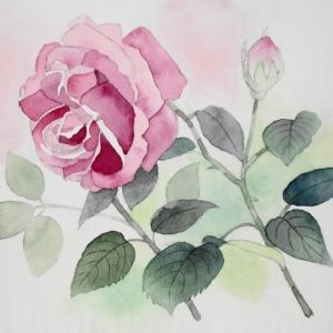爽やかな青空に咲く五月の薔薇