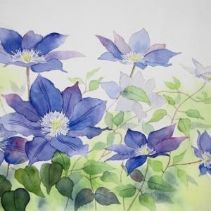 クレマチスの花を描く