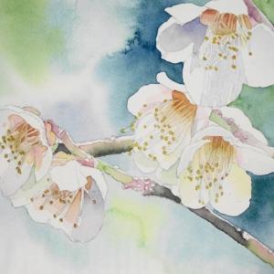 白梅を描く^^