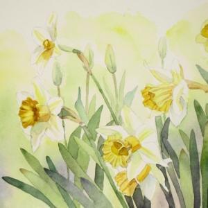 水仙の花を描く