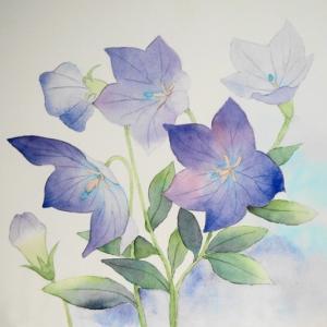 桔梗の花を描く