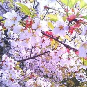 ^-^◆ 安部総理大臣主催「桜を見る会」