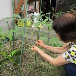 オクラを収穫