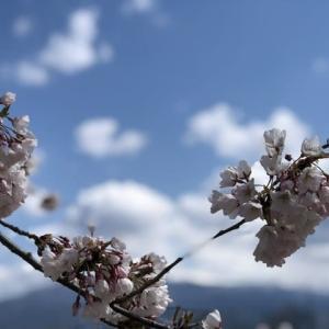 山形の桜も満開に