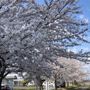 近所の桜も