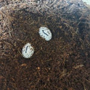 爬虫類産卵ラッシュ