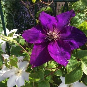 江戸紫。ショパン 。さて