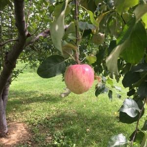リンゴの木姿って